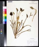 Heteranthera limosa image