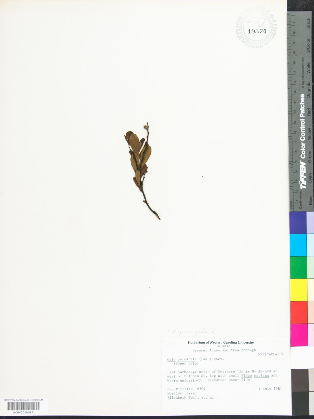 Gale palustris image