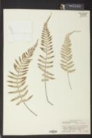 Image of Asplenium auritum