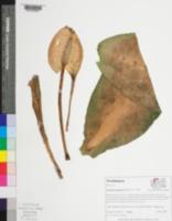 Image of Lysichiton americanus