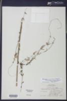 Image of Cynanchum blodgettii