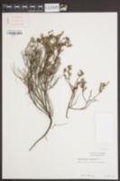 Helianthemum scoparium image