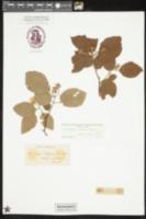 Image of Crataegus triflora