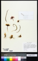 Allium scilloides image