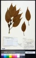 Quercus acuta image