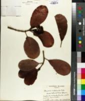 Image of Psychotria hawaiiensis