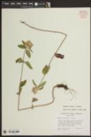 Blephilia ciliata image