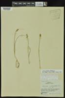 Carex retroflexa image