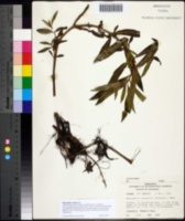 Image of Hygrophila costata