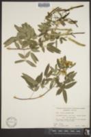 Cassia corymbosa image