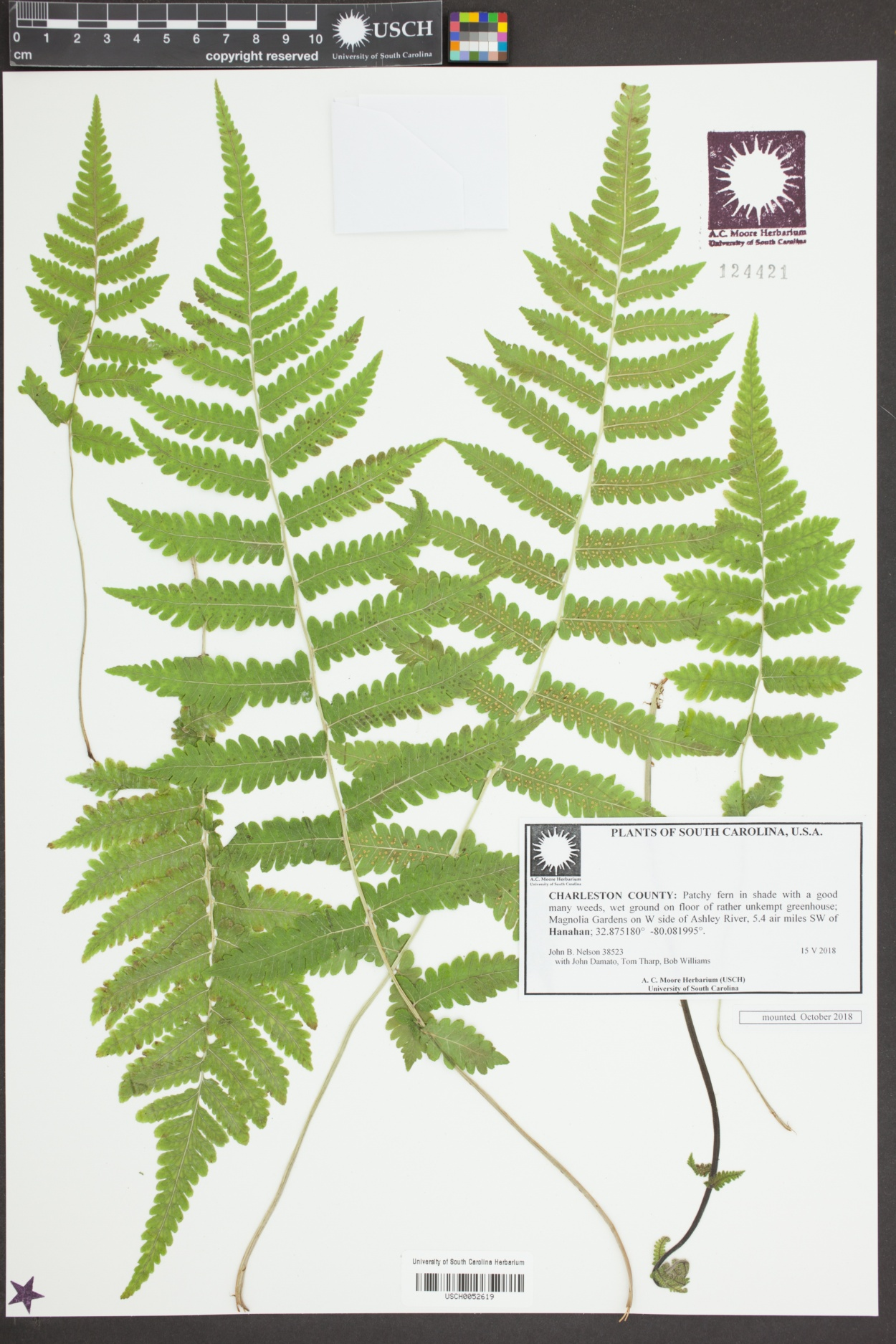 Dryopteridaceae image