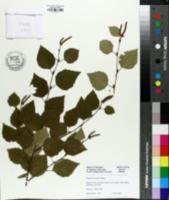 Image of Betula tianschanica