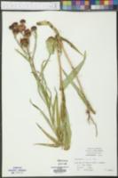 Vernonia crinita image