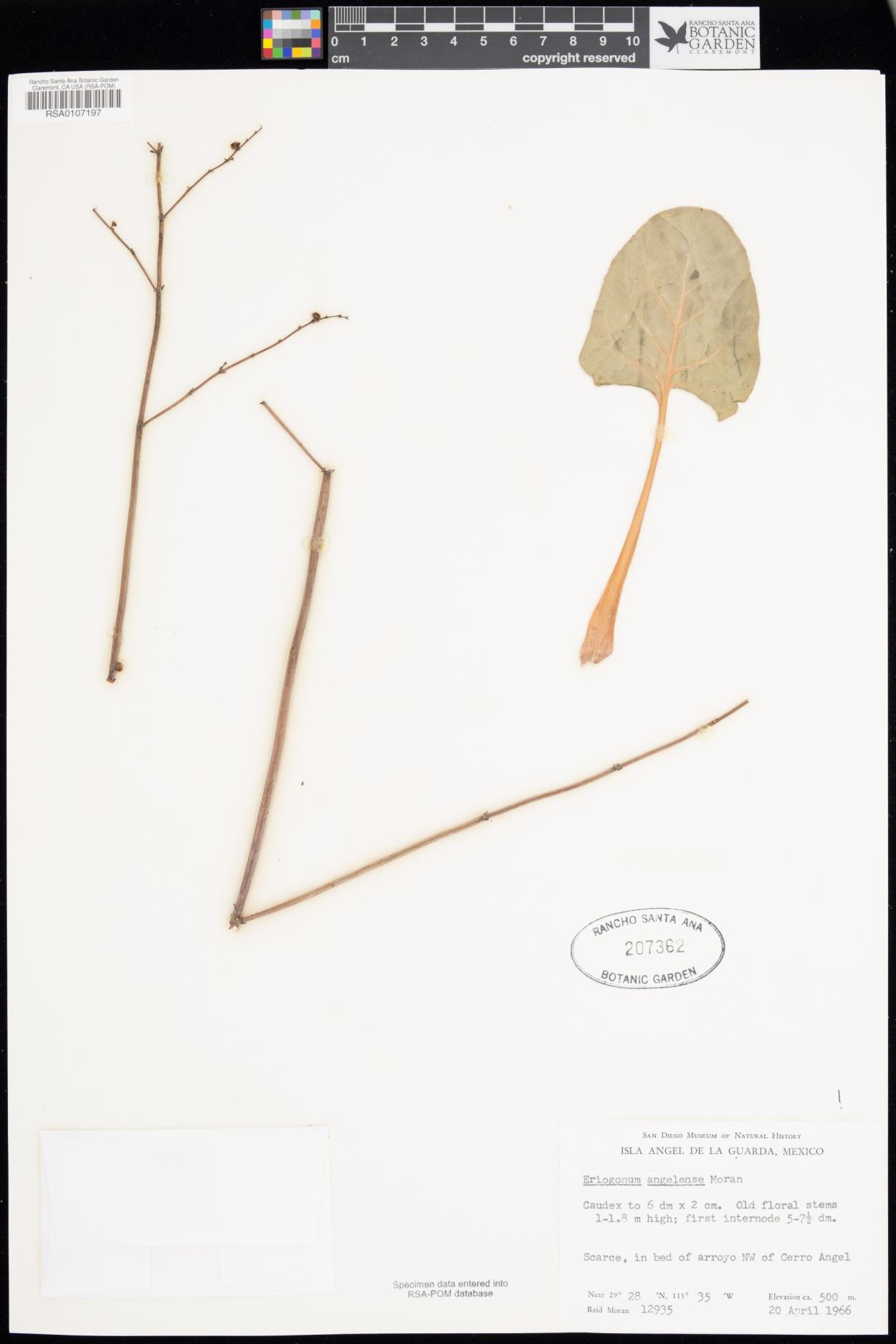 Eriogonum angelense image