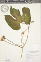 Image of Gurania coccinea