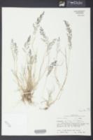 Eragrostis pilosa image