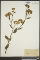 Pluchea tenuifolia image