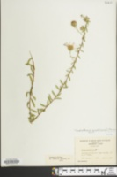 Image of Symphyotrichum grandiflorum