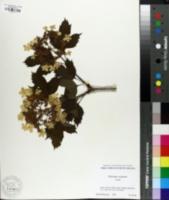 Image of Viburnum sargentii