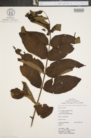 Image of Juglans neotropica
