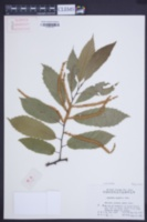 Image of Castanea seguinii