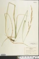 Lolium arundinaceum image