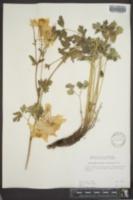 Aquilegia caerulea var. ochroleuca image