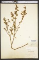 Vaccinium pallidum image