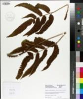 Image of Dryopteris sieboldii