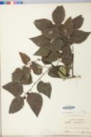 Celtis crassifolia image