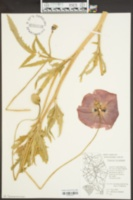 Papaver hybridum image