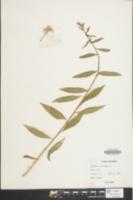 Image of Oenothera parviflora