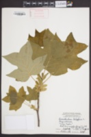 Liriodendron tulipifera image