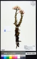Helichrysum formosissimum image