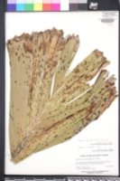 Image of Aiphanes caryotifolia