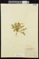 Oenothera triloba image