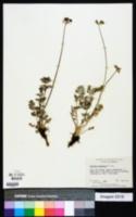 Tauschia madrensis image