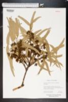 Image of Eucalyptus dumosa