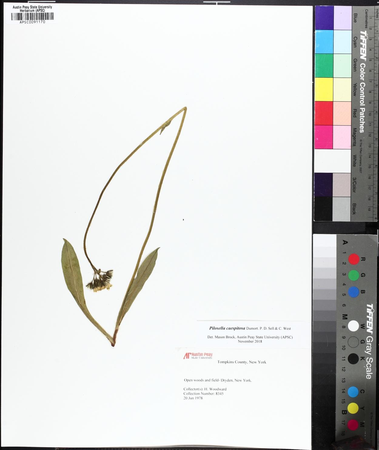 Pilosella caespitosa image