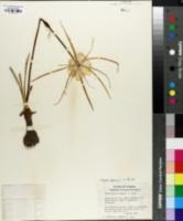 Image of Hymenocallis palmeri