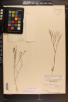 Stipulicida setacea image