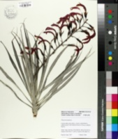 Image of Pitcairnia punicea