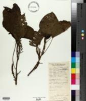 Image of Acalypha amentacea