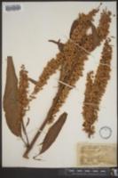 Image of Rumex britanica