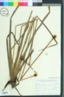 Image of Xyris platylepis