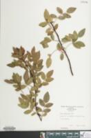 Image of Rosa rubrifolia