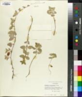 Image of Micromeria chamissonis