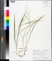 Panicum flexile image