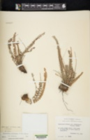 Astrolepis cochisensis image