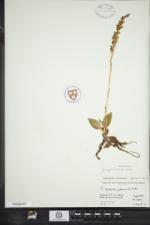 Goodyera tesselata image